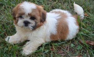 Stunning Shih Tzu Puppies For Sale Pittsburgh Pa Free