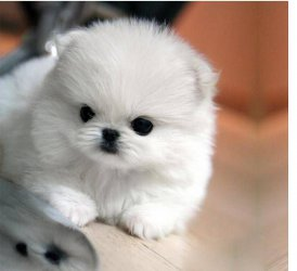 Need to Rehome my Lovely Mini teacup Pomeranian Puppies(302