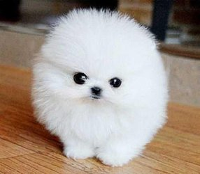 Registered HOuse and potty trained teacup Pomeranian Puppies