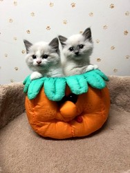 TICA Reg Rag-doll Kittens Ready - Dallas, TX - free
