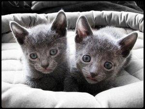 Blue Kittens For Sale : Hypoallergenic russian blue kittens for sale alexandria va