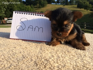 Really Nice Litter Of Akc Registered Yorkie Pups Available Right Now