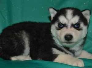 Comely Siberian Husky Puppies For Sale Houck Az Free