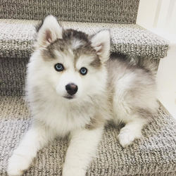 Pomsky Puppies - North Carolina - free classifieds in USA