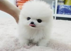 Akc Full Registration Great Pomeranian Puppies Championship