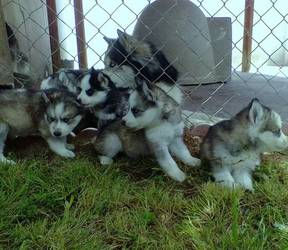 Home Siberian Husky Puppies for Sale kids companion - Humble, TX