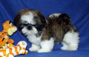 Akc Home Trained Shih Tzu Pups For Saletxt Us Only At 602 800