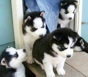 Cute Siberian Husky Puppies For Adoption Lakeville Mn Free