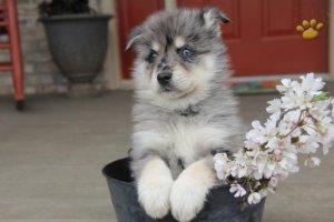 Fshgrd pomsky puppies ready - Ravensdale, WA - free