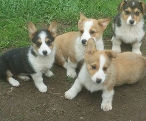 Pembroke Welsh Corgi Puppies Lakeville Mn Free Classifieds In Usa