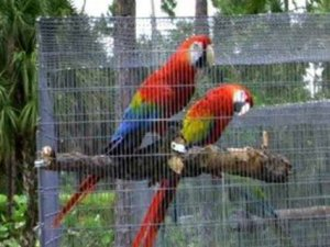 Sociable male and female Scarlet Macaw parrots sale