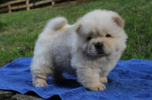 Baby Chow Pups Home Trained Atascosa Tx