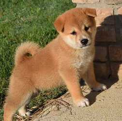 Shiba Inu Puppies Lakeville Mn Free Classifieds In Usa