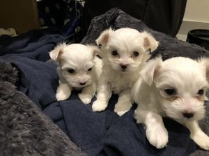 Full Pedigree Imperial Teacup Maltese Puppies - Fort Worth, TX