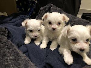 Full Pedigree Imperial Teacup Maltese Puppies - Fort Worth