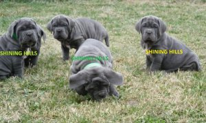 New Blue Neapolitan Mastiff Pups - Canyon, TX - free classifieds in USA