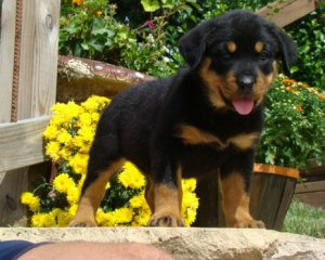 Gentle Rottweiler Puppies For Sale Epping Nh Free