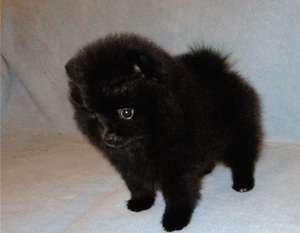 Registered Heathy Pomeranian Puppies For Rehoming  /Fort Worth