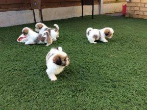 Beautiful Shih Tzu Puppies Avaialble Now Minneapolis Mn Free
