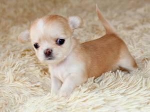Micro Tiny Size Chihuahua Puppies Los Angeles Ca Free
