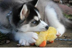 Siberian Husky Puppies For Sale Columbia Mo Free Classifieds In Usa